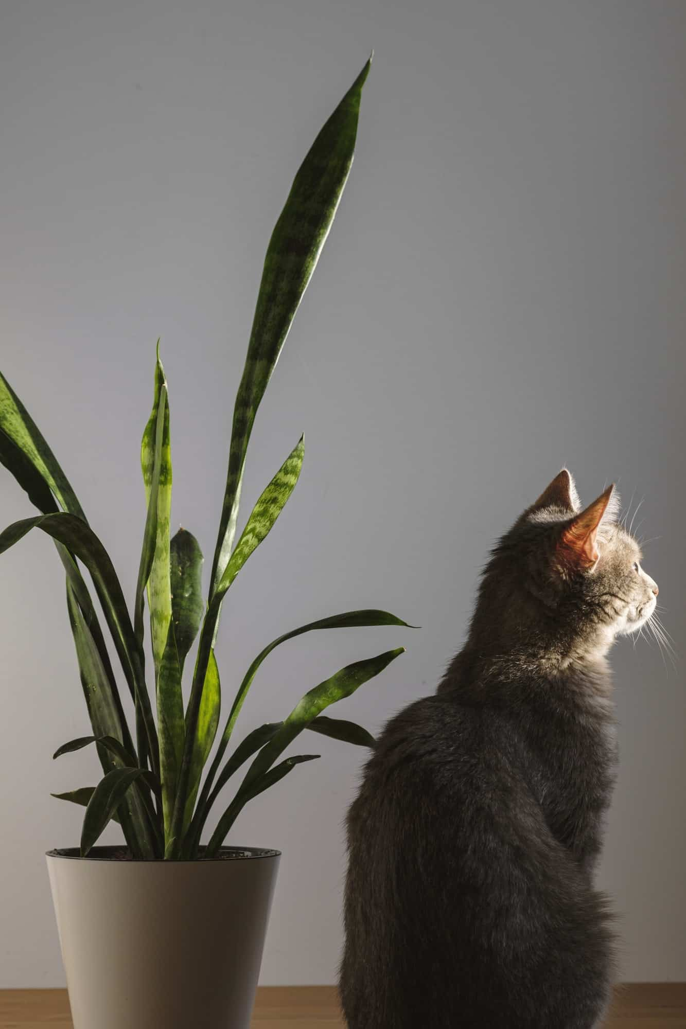 Gray striped domestic cat sitting on wooden table nearby Sansevieria.
