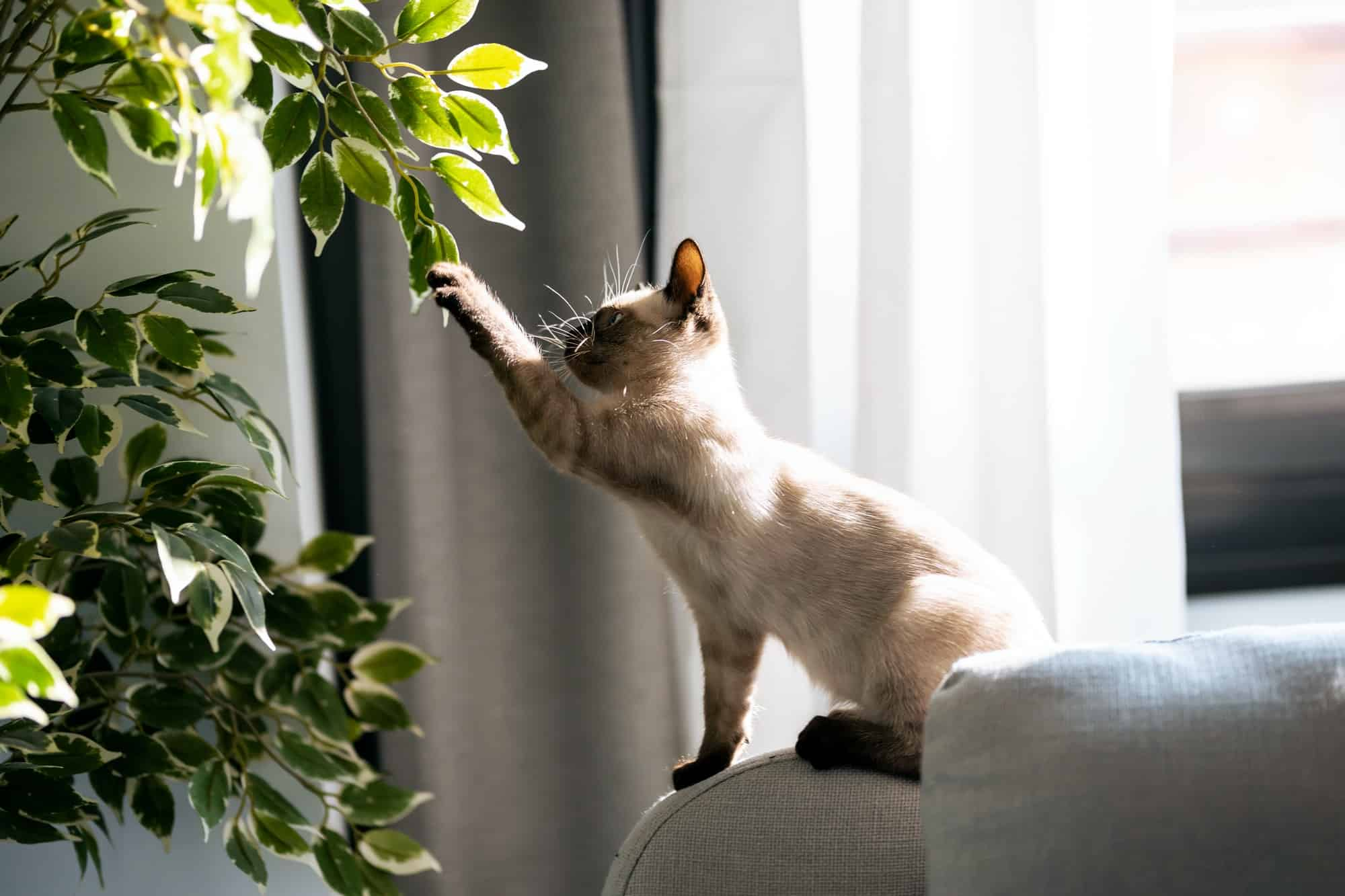 Little siamese kitten sitting on couch under green plant and playing with paw at home.