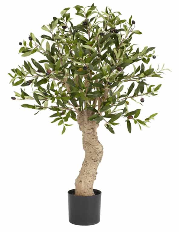 Where to buy Olive Trees